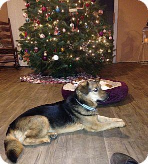 German Shepherd Dog/Dachshund Mix Dog for adoption in Battleboro, Vermont - Lucas