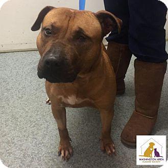 Pit Bull Terrier Mix Dog for adoption in Eighty Four, Pennsylvania - Ellen