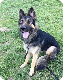 German Shepherd Dog Dog for adoption in Pleasant Grove, California - Riley