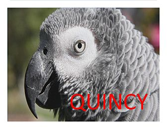 African Grey for adoption in Vancouver, Washington - Quincy The African Grey