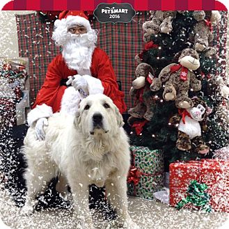Great Pyrenees Dog for adoption in Palmdale, California - Lilly