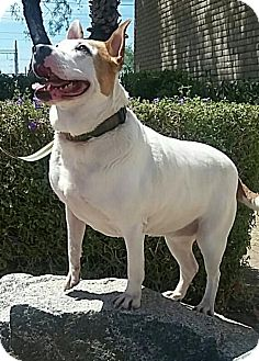 American Pit Bull Terrier Mix Dog for adoption in Tempe, Arizona - Lucy