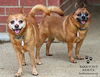 Pomeranian/Chihuahua Mix Dog for adoption in Bardstown, Kentucky - Pixie & Paisley