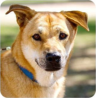 Shepherd (Unknown Type) Mix Dog for adoption in Bulverde, Texas - Lucas