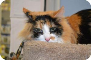 Domestic Longhair Cat for adoption in Gilbert, Arizona - Dazzle