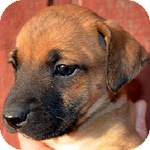 Boxer/Labrador Retriever Mix Puppy for adoption in Manchester, Connecticut - Nelly ADOPTION PENDING