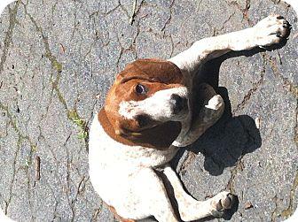 Redbone Coonhound/Coonhound Mix Puppy for adoption in East McKeesport, Pennsylvania - Roscoe