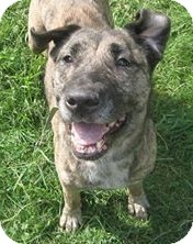 Shepherd (Unknown Type)/Labrador Retriever Mix Dog for adoption in North Olmsted, Ohio - Mudslide