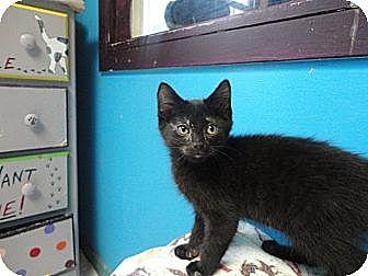 Domestic Shorthair Kitten for adoption in MADISON, Ohio - Houdini