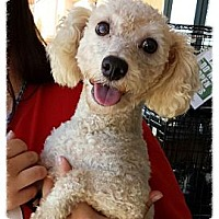 Bichon Frise Dog for adoption in Porter Ranch, California - CeeDee