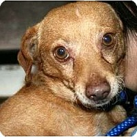 Adopt A Pet :: Whisky - Canoga Park, CA