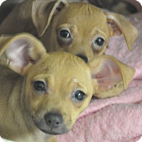 Adopt A Pet :: Blue, boo, blueberry - Tumwater, WA