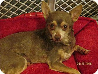 Chihuahua Dog for adoption in Wapwallopen, Pennsylvania - Tessa - 12 1/2