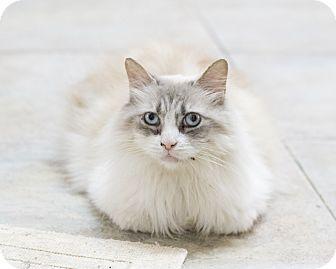 Domestic Shorthair Cat for adoption in Houston, Texas - Twila