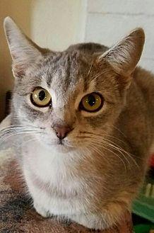 Domestic Mediumhair Kitten for adoption in Monrovia, California - Tabitha