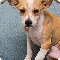 Adopt A Pet :: Baby Paco - Miami, FL