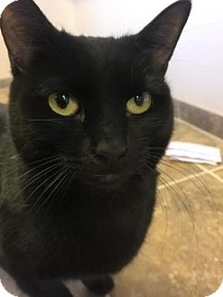 Domestic Shorthair Cat for adoption in Cumming, Georgia - Shadow