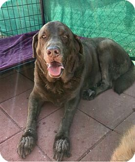 Labrador Retriever Dog for adoption in Temecula, California - Forest