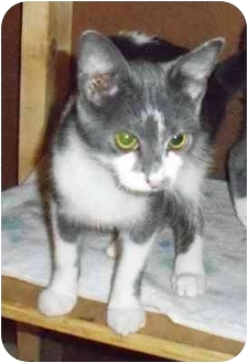 Domestic Shorthair Cat for adoption in Odenton, Maryland - Alvin