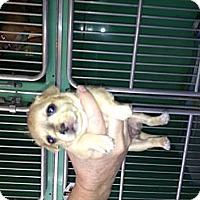 Adopt A Pet :: Gilligan - North Hollywood, CA