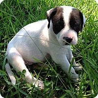 Adopt A Pet :: Checkers (female - Houston, TX