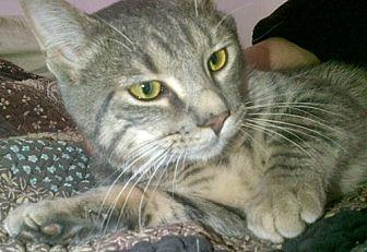 Domestic Shorthair Cat for adoption in Santa Fe, New Mexico - Bambino