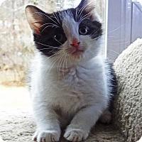 Adopt A Pet :: Blitzen - N. Billerica, MA