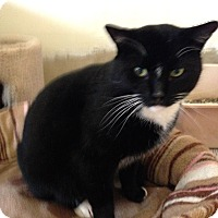 Domestic Shorthair Cat for adoption in Colmar, Pennsylvania - James Bond