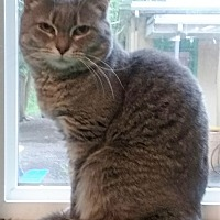 Domestic Shorthair Cat for adoption in Pottsville, Pennsylvania - Abby