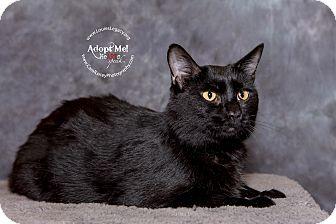 Domestic Shorthair Cat for adoption in Cincinnati, Ohio - Nori