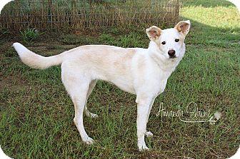 Collie/Spitz (Unknown Type, Medium) Mix Dog for adoption in Pilot Point, Texas - LEXI
