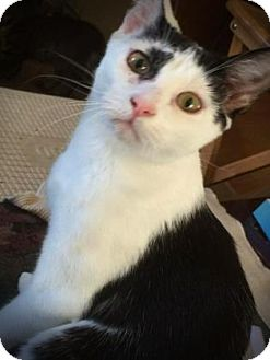 Domestic Shorthair Cat for adoption in Wichita, Kansas - Barb