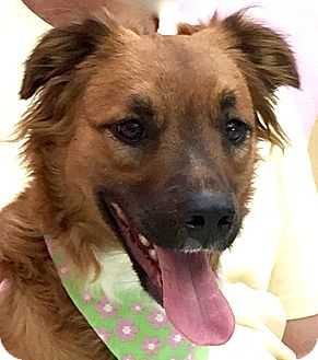 American Staffordshire Terrier Mix Dog for adoption in Evansville, Indiana - Luxi