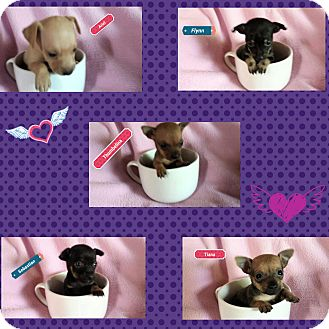 Chihuahua Mix Puppy for adoption in Victorville, California - Princess Pups