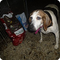 Treeing Walker Coonhound Mix Dog for adoption in Glastonbury, Connecticut - Misty-ADOPTED