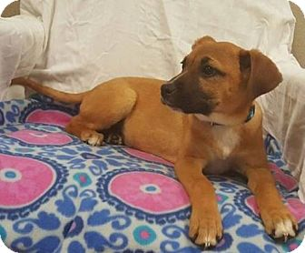 Labrador Retriever/Black Mouth Cur Mix Puppy for adoption in Hillside, Illinois - Ruby