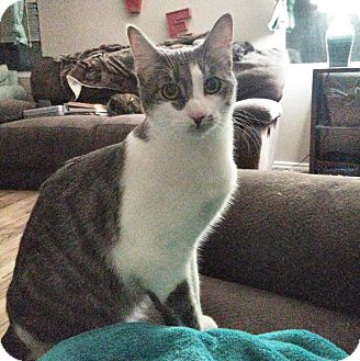 Domestic Shorthair Cat for adoption in Arlington/Ft Worth, Texas - Milo