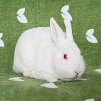 Adopt A Pet :: PETE - Los Angeles, CA