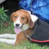 Treeing Walker Coonhound Dog for adoption in Westminster, Maryland - Travis
