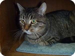 Domestic Shorthair Cat for adoption in Hamburg, New York - Taylor