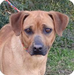 Rhodesian Ridgeback/Hound (Unknown Type) Mix Dog for adoption in Westport, Connecticut - *Annie - PENDING