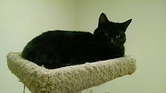 Domestic Shorthair Cat for adoption in Pineville, North Carolina - Purdy