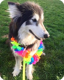 Alaskan Malamute/Collie Mix Dog for adoption in Livonia, Michigan - Odessa ♥