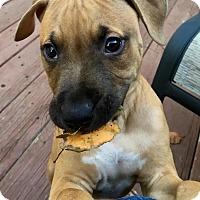 Adopt A Pet :: Pistachio - Newtown, CT