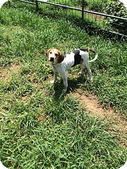 Hound (Unknown Type)/Pointer Mix Puppy for adoption in Hohenwald, Tennessee - Lydia