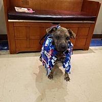 Labrador Retriever/Hound (Unknown Type) Mix Dog for adoption in New York, New York - Dottie