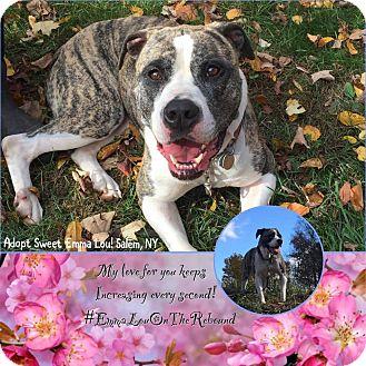 American Bulldog Dog for adoption in albany, New York - EMMIE LOU
