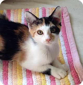 Calico Kitten for adoption in Charlotte, North Carolina - A..  Ingrid