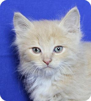 Domestic Longhair Kitten for adoption in Winston-Salem, North Carolina - Pippin