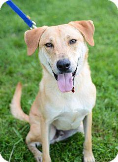 Labrador Retriever Mix Dog for adoption in Christiana, Tennessee - Hilton